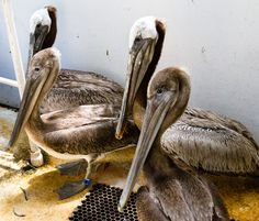 Brown Pelicans resting in the flight cage at Native Animal Rescue.