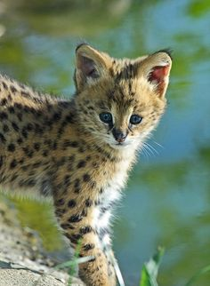 One pinner says leopard kit, another serval. I don't care, it's ADORABLE! (I think serval kit also, comments? Big Cats, Crazy Cats, Cats And Kittens, Beautiful Cats, Animals Beautiful, Hello Beautiful, Cute Baby Animals, Animals And Pets, Serval Kitten