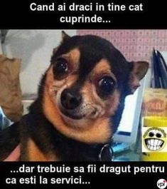 20 Chihuahua Memes That Are Too Funny Not To Laugh At - World's largest collection of cat memes and other animals Funny Dog Memes, Funny Animal Memes, Funny Animal Pictures, Memes Humor, Cat Memes, Funny Shit, Funny Dogs, Funny Animals, Hilarious