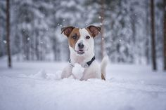 Beautiful Jack Russell ♥♥♥  #dogs #dogsperts #pets #love #doglovers #cute #cuteness #cuteanimals #puppies #pup #pups #fun #jackrussell #jackrussellterrier