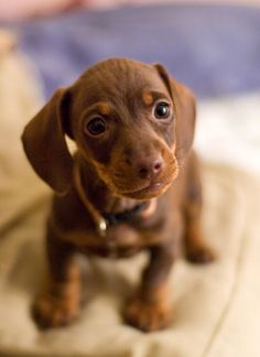 mini dachsund puppy