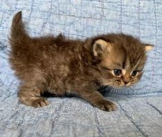 Persian and himalayan kittens for sale Himalayan Kittens For Sale, Kitten For Sale, Persian, Cats, Animals, Gatos, Animales, Animaux, Persian People