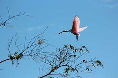 Pink spoon bill flyer.  Exotic birds by the hundreds in Tela Bay, #Honduras