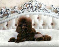 Poodle Penthouse Inc. - Certified Pet Grooming in Tampa! Brown Toy Poodle, Poodle Hair, Pet Grooming, Puppies, Rock, Pets, Cubs, Skirt, Locks