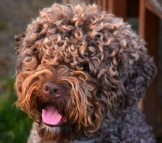 Close-up of the curly haired Lagotto Romagnolo.