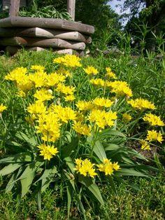 Allium moly in Bloom | Garden Guides