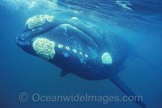 Southern Right Whale Eubalaena australis