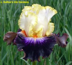 BB Iris germanica 'Ridgecrest' (Sutton, 2016)