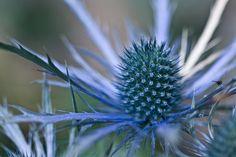 eryngium - sea-holly, the correct name, thanks to Platt Bandley Platt Bandley Ann :) Exotic Flowers, Blue Flowers, Beautiful Flowers, Planting Succulents, Planting Flowers, World Travel Decor, Indigo Plant, Sea Holly, Astrantia