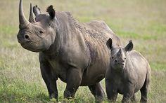 ¿Es cierto que los rinocerontes apagan fuegos?