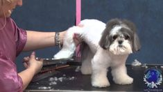 Grooming a Maltese Shih Tzu Mix In a Plushy Guard Comb Trim with Tracy D...