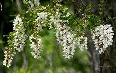 The Locust Tree in Flower