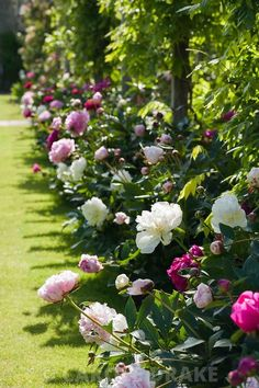 Peony border beside the pergola in the walled garden includes 'Duchesse de Nemours', 'Sarah Bernhardt', 'Dancing Butterflies' and 'Kansas'. Beaminster Manor, Beaminster, Dorset, UK
