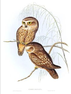 MOREPORK, BOOBBOOK, RURU, SPOTTED OWL - Athene maculata (Now: Nino novaeseelandiae) Also known as New Zealand Boobook Owl -  painted and lithographed by John & Elizabeth Gould from Birds of Australia, London 1840-48. This bird has more names than feathers!