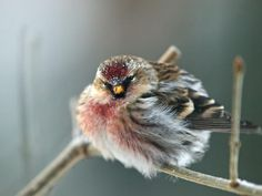 Common Redpoll fluffed out at minus 20F, via Nancy DeWitt