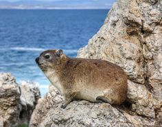 This Dassie enjoyed having his photo taken far too much... Even if you don't spot Whales you'll have plenty to entertain you in Hermanus! #tours #hermanus #dassie #westerncape #travel @winefliestours #blogger