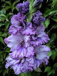 100/bag Perennial Gladiolus Flower Seeds, Rare Sword Lily Seeds for DIY HOME garden planting Aerobic potted plants decoration