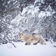 wolfsheart-blog:   Grey Wolf walking in a snowy... - take action. stay inspired.