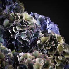 Hydrangea Classic Blue Green - Blauw Hydrangea Colors, Hydrangeas, Hydrangea Garden, Colorful Flowers, Color Change, Leaves, Mini, Hydrangea Macrophylla