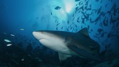 To curb shark attacks, why not just move the sharks? #animals #sharks #science
