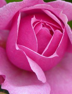 Old-fashioned fragrant rose 'Sister Elizabeth'