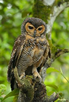 Spotted Wood Owl (Strix seloputo) Burma, Thailand, Vietnam