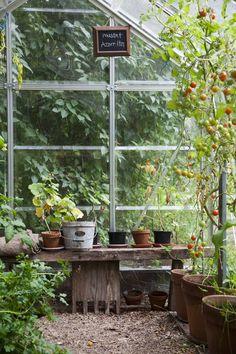 Pitäisiköhän hankkia toinenkin kasvihuone, sillä yksi ei näytä riittävän. Tomaatit ehtivät kypsyä juuri parahiksi syksyyn mennessä.