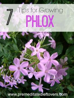 Flower Gardening For Beginners 7 Tips for Growing Phlox- Phlox is a hardy flower that blends nicely with other plants. These 7 gardening tips will show you just how easy it is to grow. Easy Garden, Lawn And Garden, Garden Sheds, Growing Flowers, Planting Flowers, Flower Gardening, Growing Plants, Growing Vegetables, Gardening For Beginners