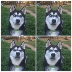 Unamused husky gives priceless reaction when owner fakes throw. #lol