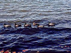 Beantown quacks