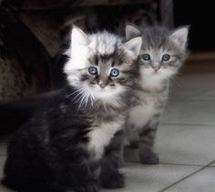 Two fluffy kittens with blue eyes<3