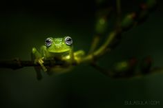 Ghost Glass Frog | Costa Rica by Petr Bambousek on 500px