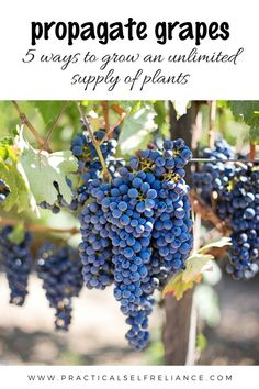 Propagating grapes is easy to do in your off-grid homestead's garden or vineyard. Here are 5 ways to grow an unlimited supply of plants. #wine #grapes