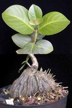 Hydnophytum (ant plant)
