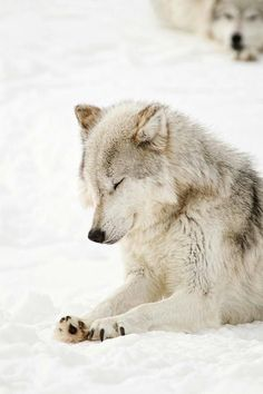 Beautiful white wolf in the snow. She looks like she's praying