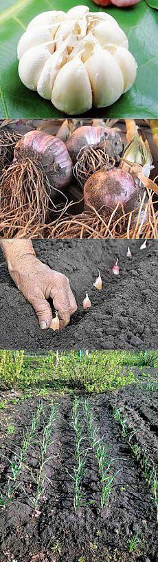 Посадка чеснока весной | Дача - впрок