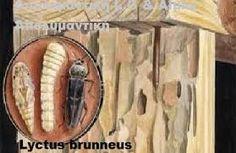Resultado de imagen de LYCTUS BRUNNEUS