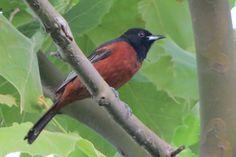 April 21 - Today's Featured Birds - Warbler Calls