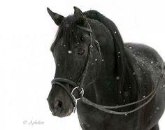 Beautiful black arabian