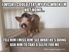 Mini pigs make the best pets! Charmingminipigs.com