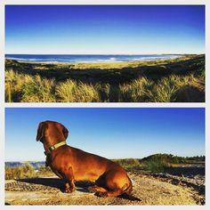 S U N S  O U T //  my little mate Ollie admiring the view of the #Warrnambool coastline this morning  #coastline #beach #scenic #photooftheday #live3280 #dachshund #dachshundlove #dachshundsofinstagram #sausagedog #sausagedogcentral #surf #walk #morning #saturday #weekend #explore #exploring #sun #sunshine #dog #dogsofinstagram by formandfashion