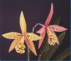 Potinara hoku gem flowers  http://www.argusorchids.net/Potinara_Hoku_Gem.htm