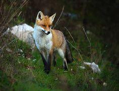 Parco Nazionale d'Abruzzo, Lazio e Molise, volpe. #volpe #PNALM #Montagna #Abruzzo #Italia #Natura