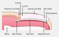 Anatomy of the nail and surrounding area. Read our clinical review on managing  ingrowing toenails http://www.bmj.com/content/344/bmj.e2089