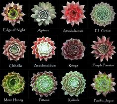 Assorted types of succulent #4
