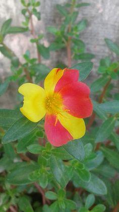 All Flowers, Exotic Flowers, My Flower, Portulaca Flowers, Planting Flowers, House Plants, Roses, Wonderful Flowers, Gardening