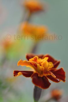 Red and Gold Flowers Macro Photography by PAINTINGbyTERRI on Etsy, $15.00
