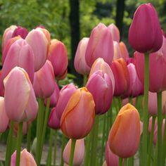 """Große Blüten in wunderbaren Rosa-Nuancen - die Tulpenmischung """"French Blend Rose"""" macht den grauen Winter schnell vergessen. Perfekt aufeinander abgestimmte Blumenzwiebelmischungen gibt es bei www.fluwel.de. Pflanzzeit ist im Herbst."""