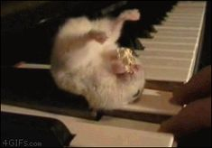 Hamster On A Piano Eating Popcorn - Now that's one determined little guy...