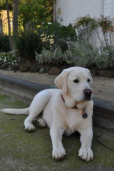 English white Lab: Exactly what I want but already potty trained!! lol :)